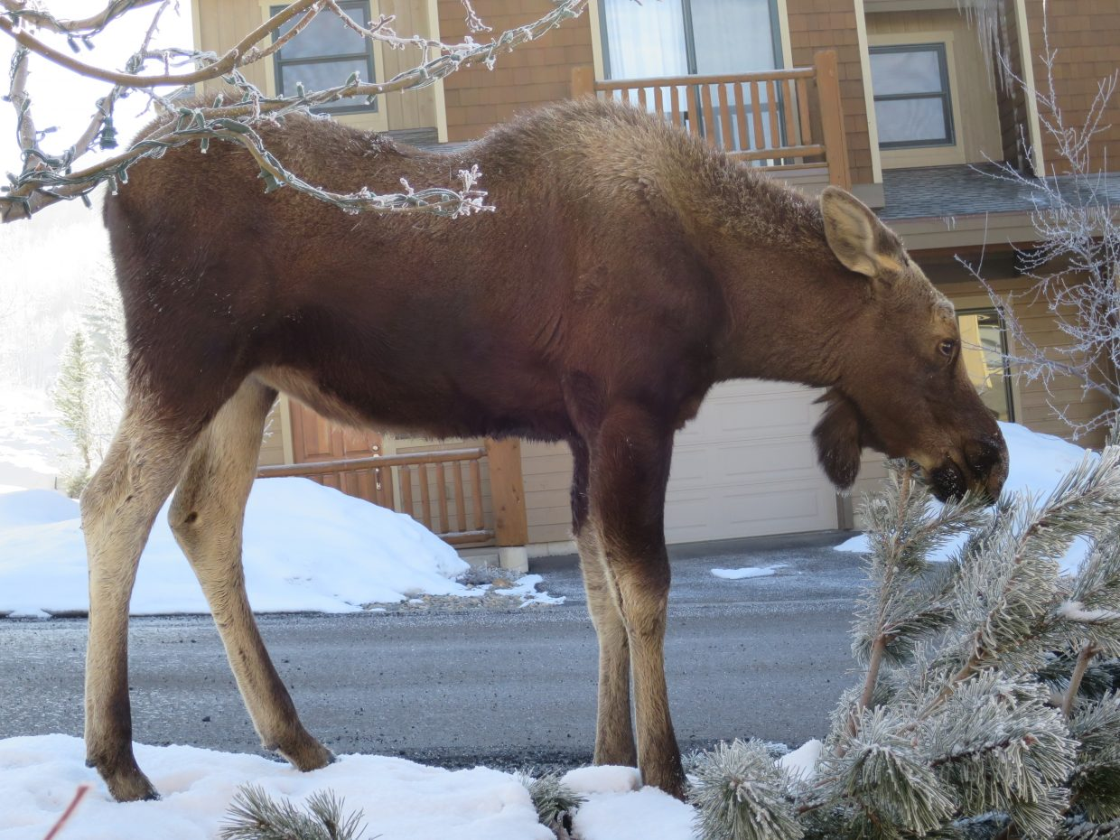 Here are two photos of moose in our neighborhood yesterday.  Submitted by Brenda Flannery.
