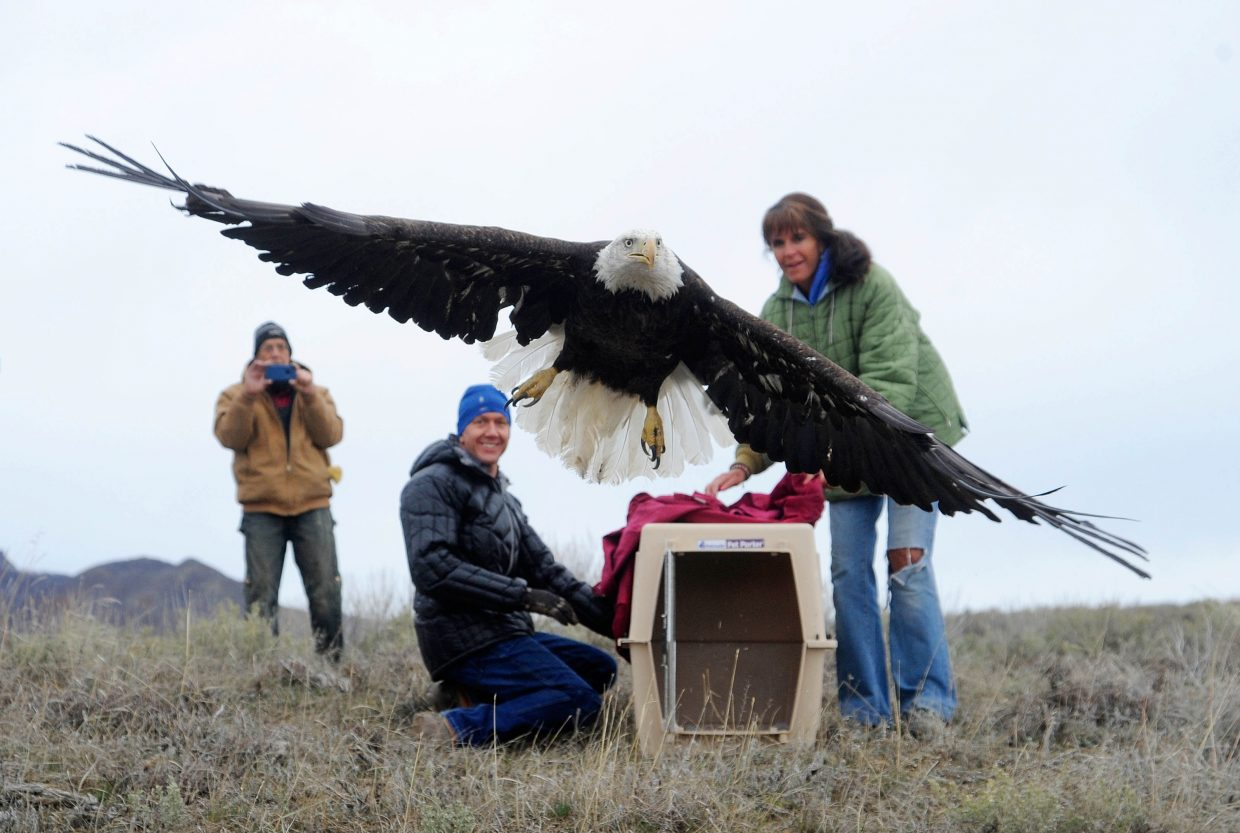 Steamboat Veterinary Hospital veterinarian Nate Daughenbaugh and Born Free Wildlife Rehabilitation founder Tracy Bye release a bald eagle that spent three months recovering from lead poisoning.