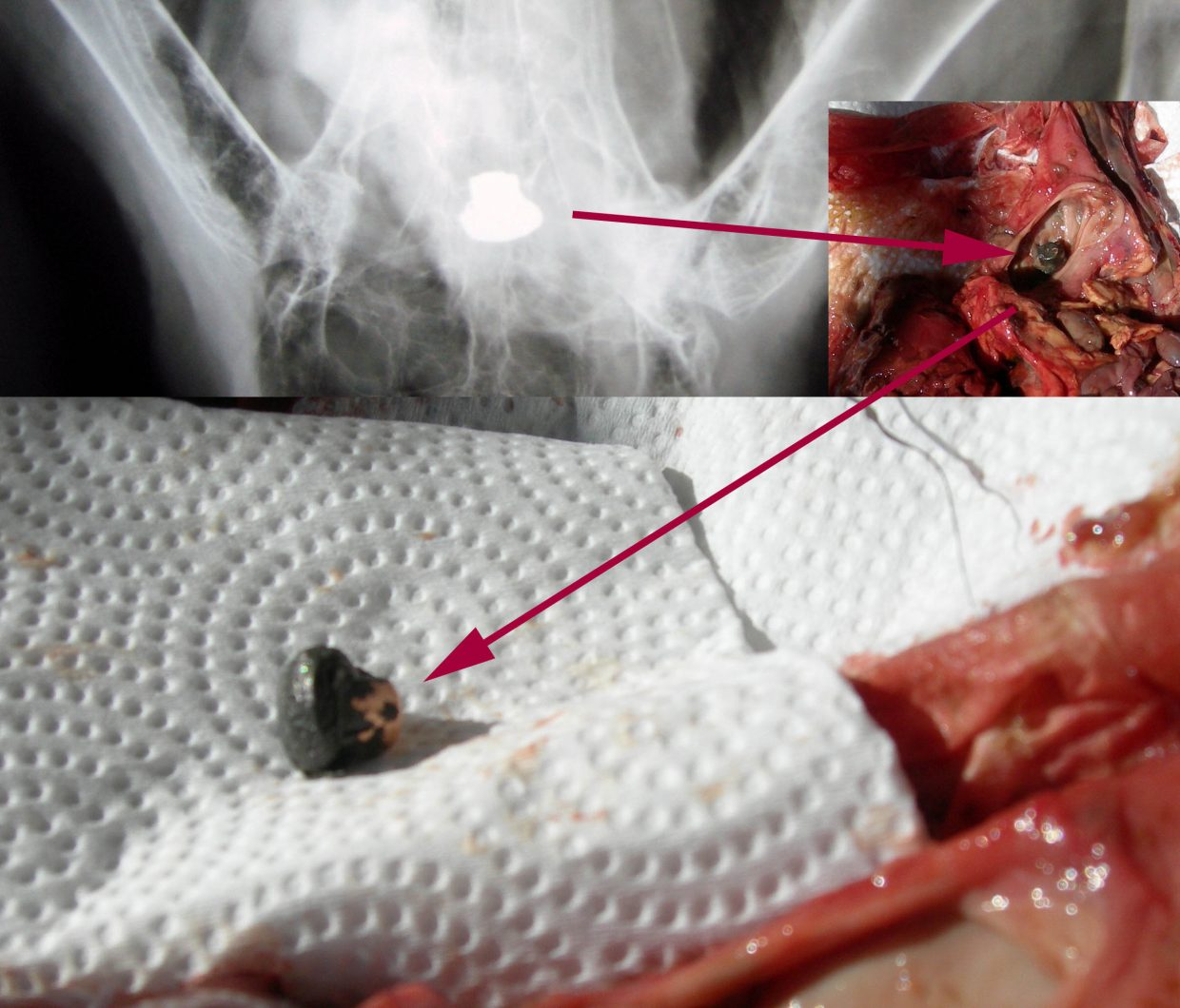X-ray image and photo from necropsy procedure showing lead-core bullet found in the stomach of a bald eagle admitted to Saving Our Avian Resources in Iowa.