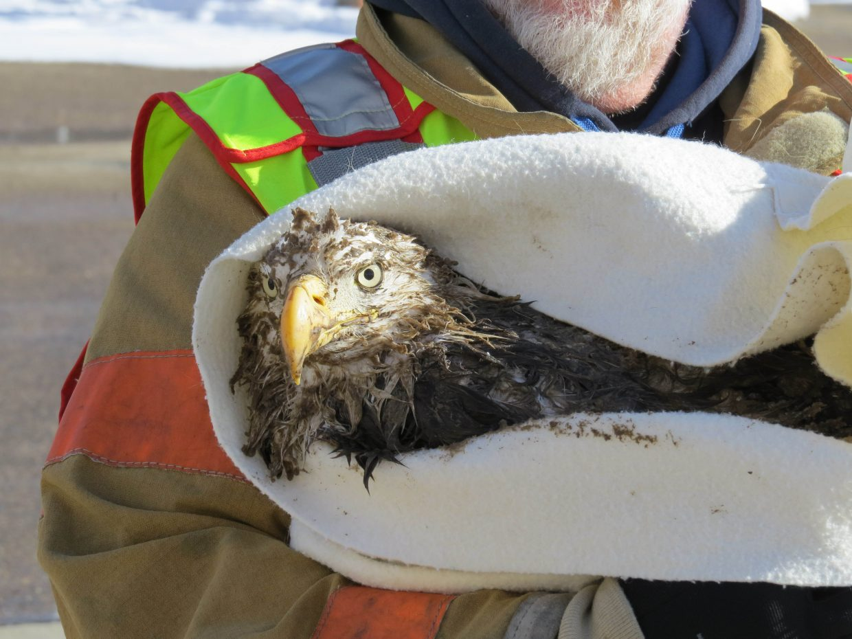 Doug Slaight holds a bald eagle rescued from a sewage pool at the Craig Wastewater Plant in January.