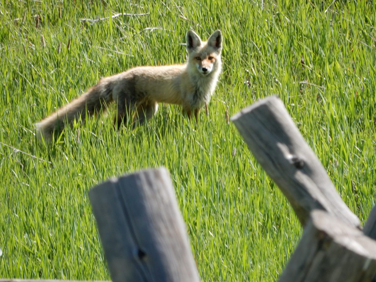 Mother fox today at the old barn.