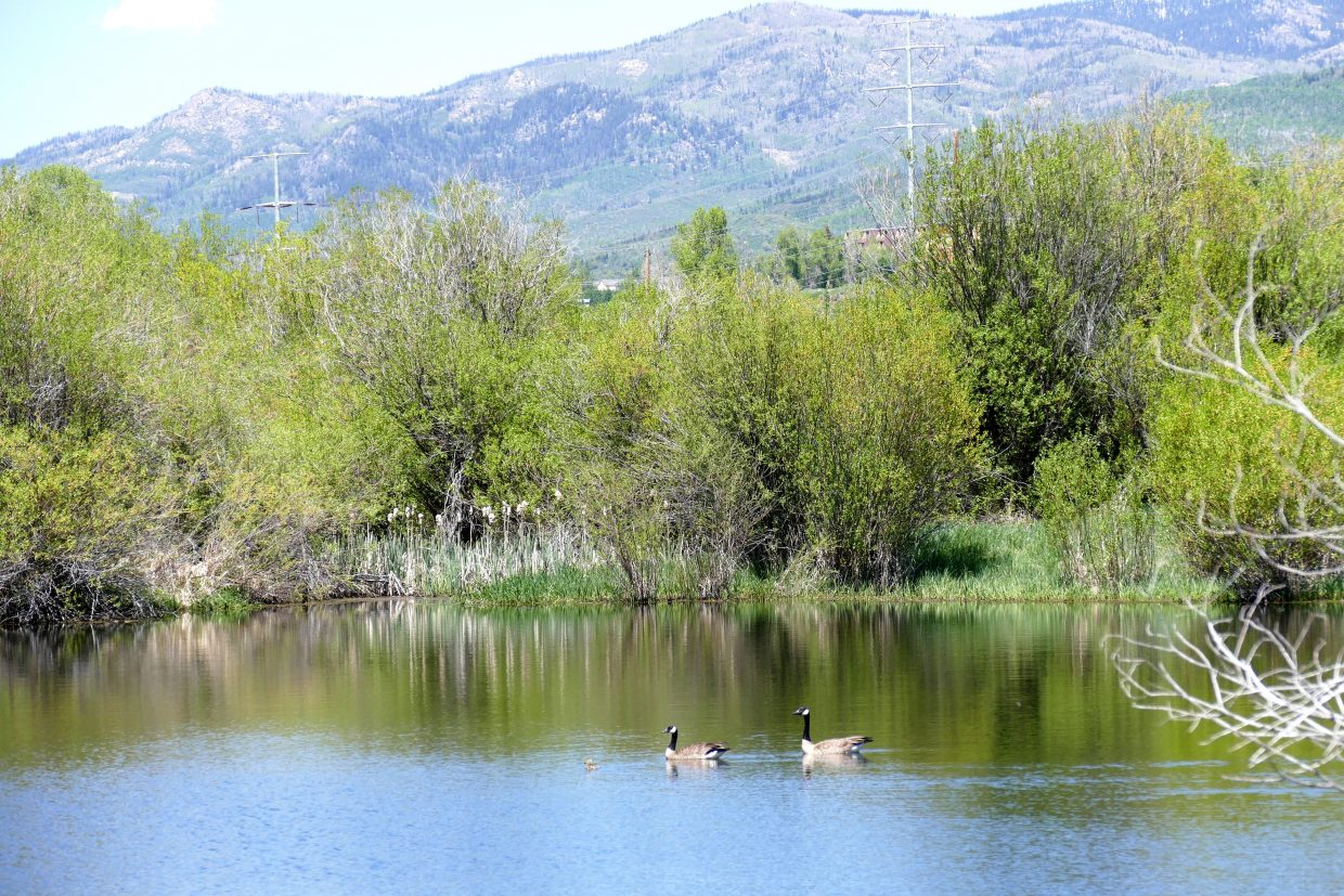These two were watching over their gosling very carefully this afternoon. This was taken near River Road and the Tree Haus subdivision in Steamboat Springs.