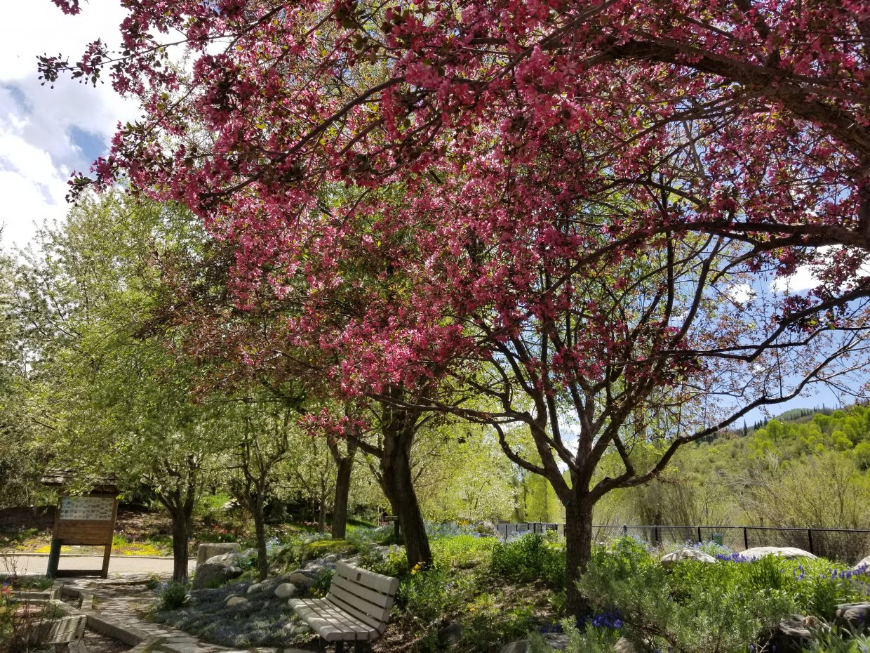 A tree's pink blossoms appear in the midst of green at the Yampa River Botanic Park.