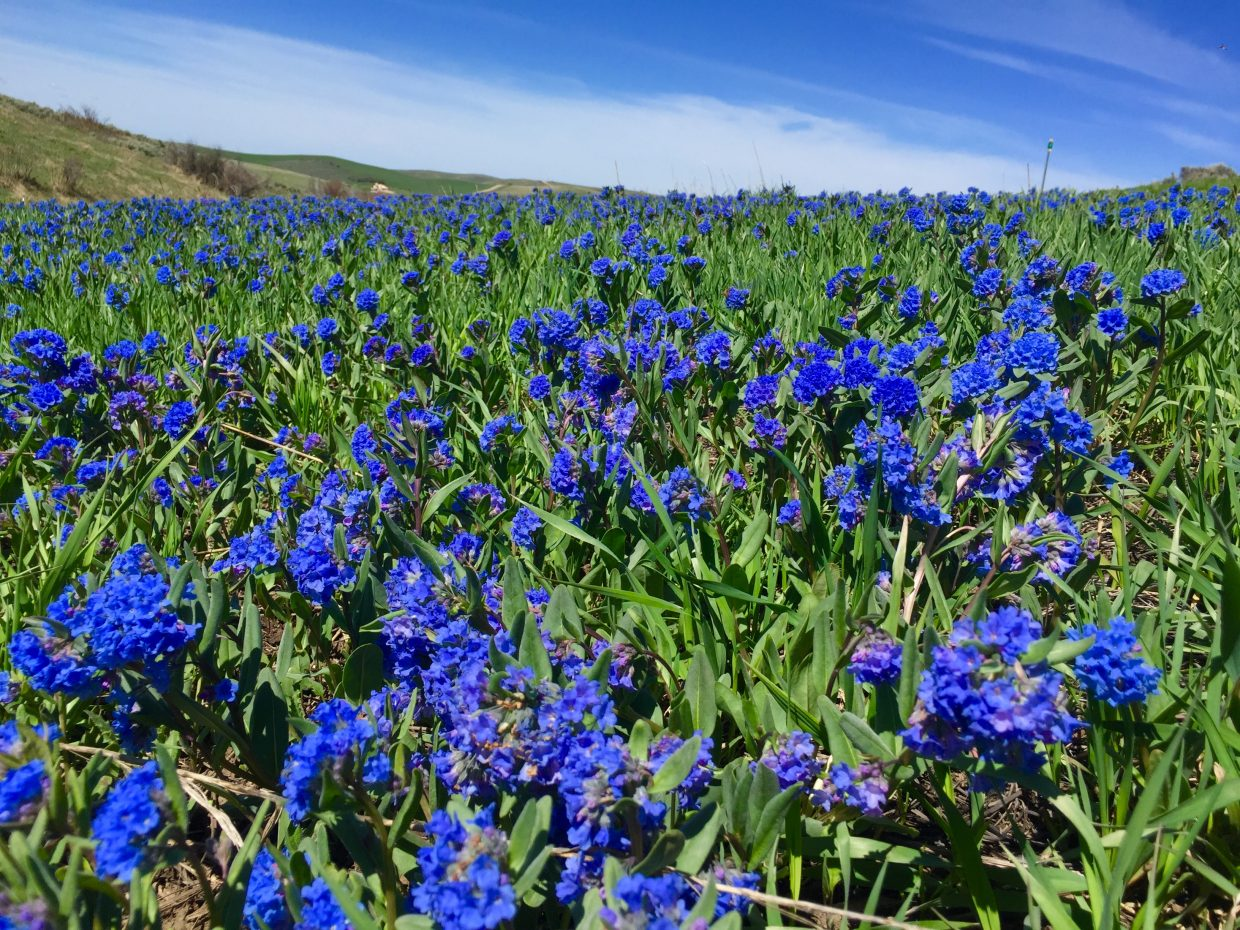 Beautiful mountain Bluebells near Steamboat Springs.