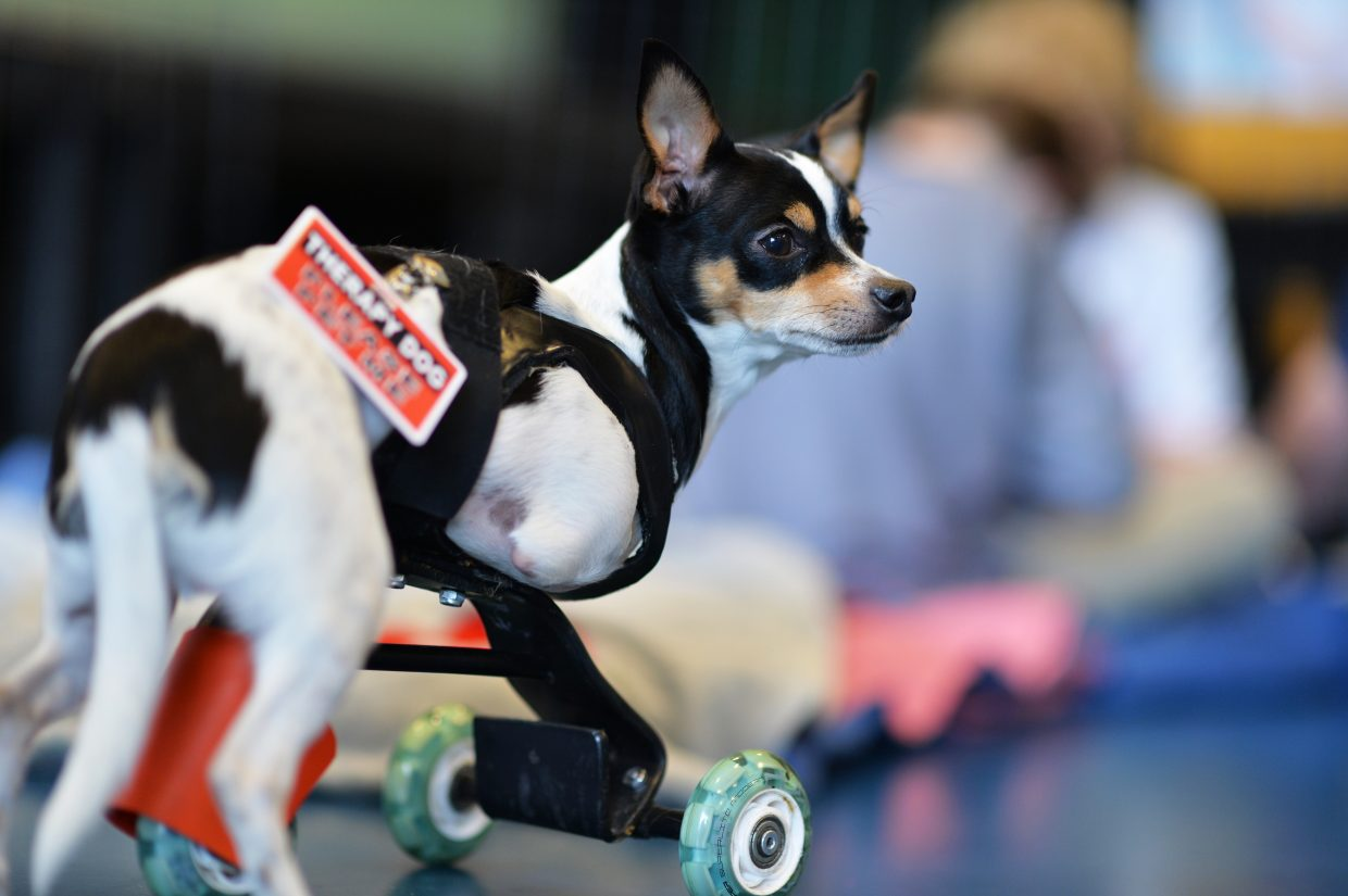 Therapy dog Deuce. Colorado Comfort Canines, Inc. is participating in SkyView Academy's Coping and Overcoming event. Colorado Comfort Canines, Inc. is a Colorado-based volunteer organization supporting communities in time of extreme stress.