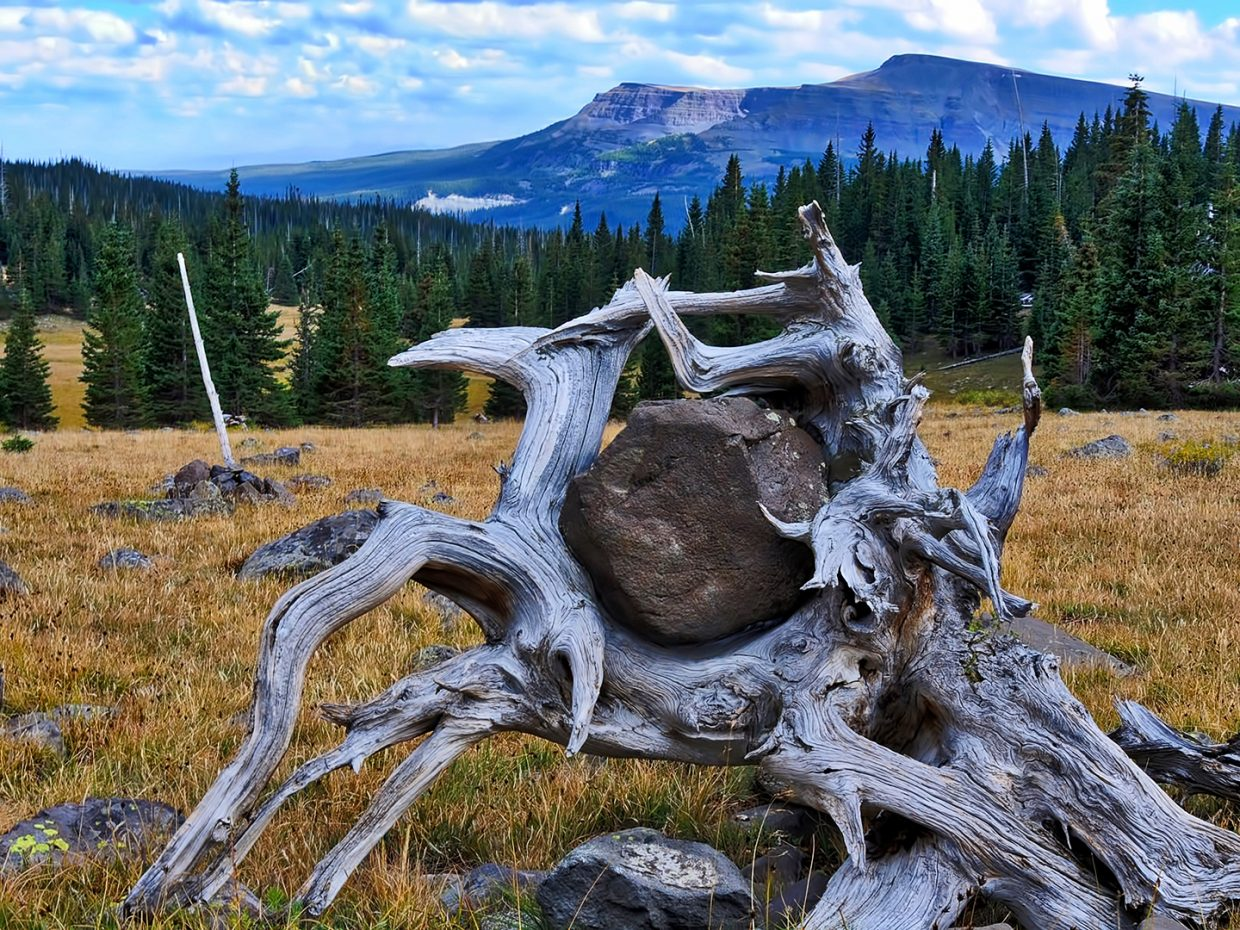 An old weathered stump holds on out in the Flat Tops Wilderness Area.