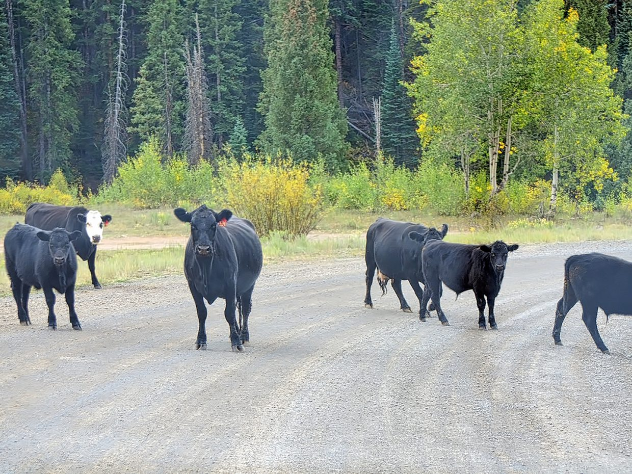 Stare down with a cow on the Flat Tops Scenic Byway.