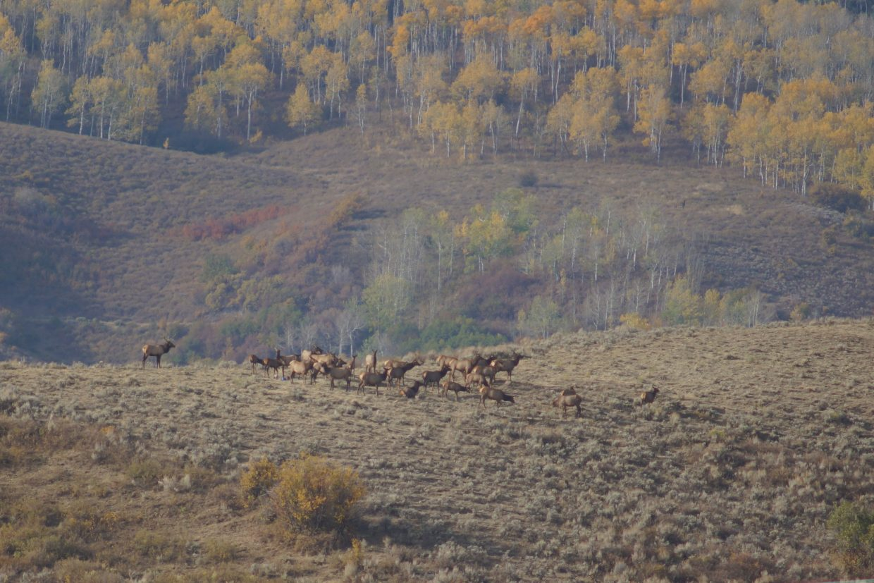 Elk in the Little Flat Tops