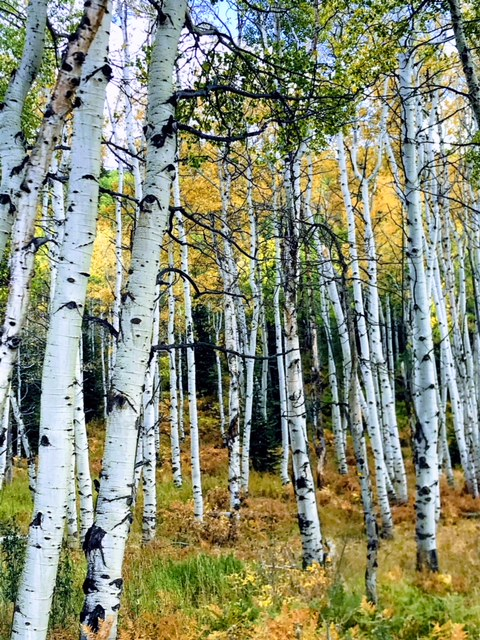 Aspens on Buffalo Pass