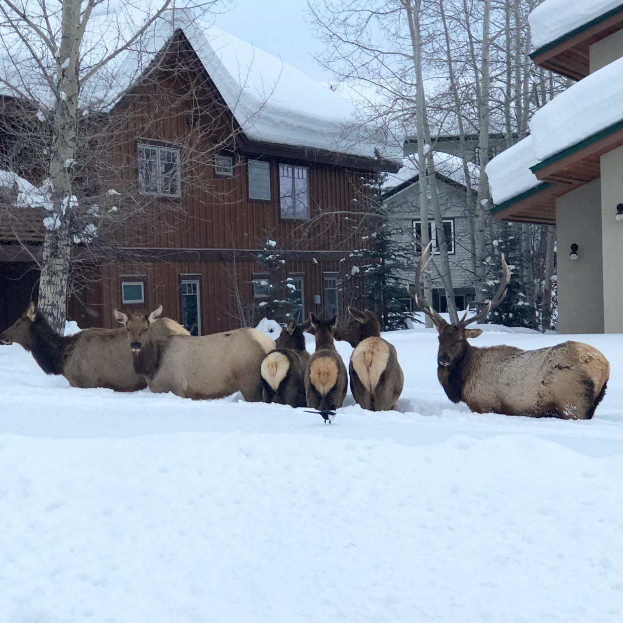 A herd of elk gather in a courtyard.