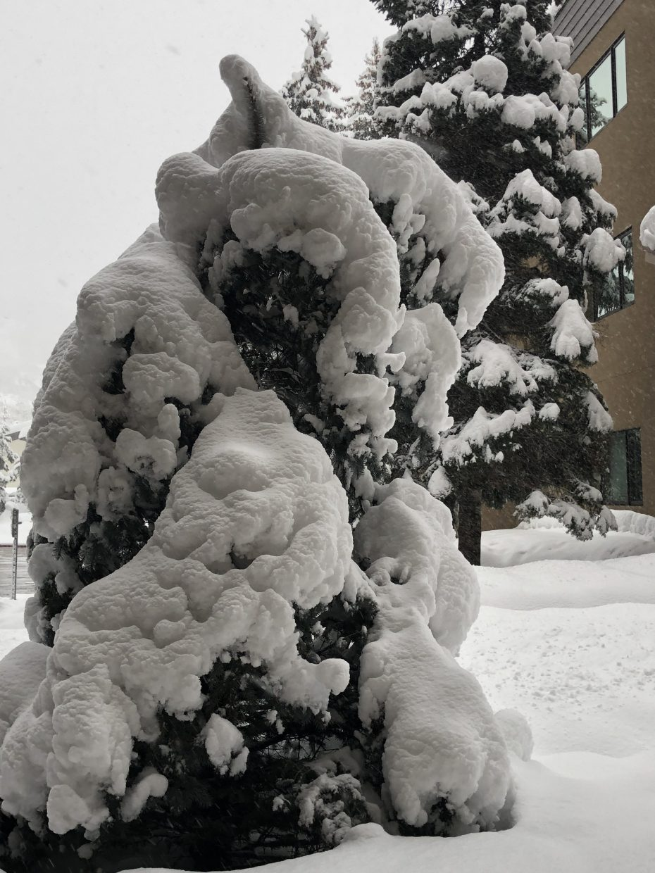 This snow laden tree was by Snowflower condos this morning.