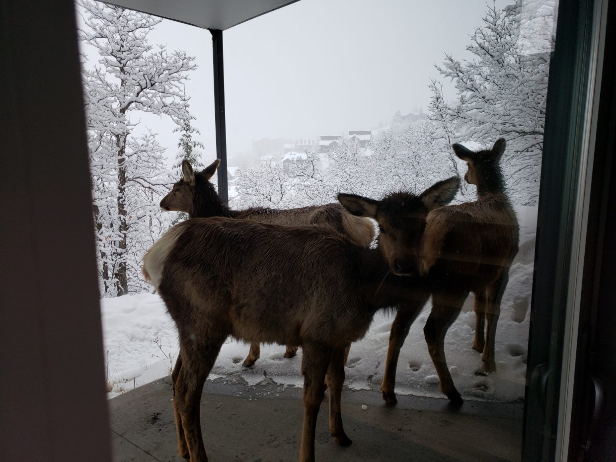 Some mule deer decide to shelter under a porch.
