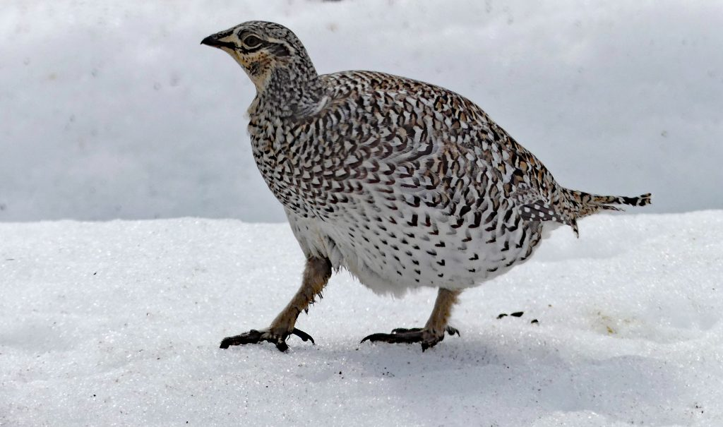 Sharp-tailed Grouse in Silver Spur