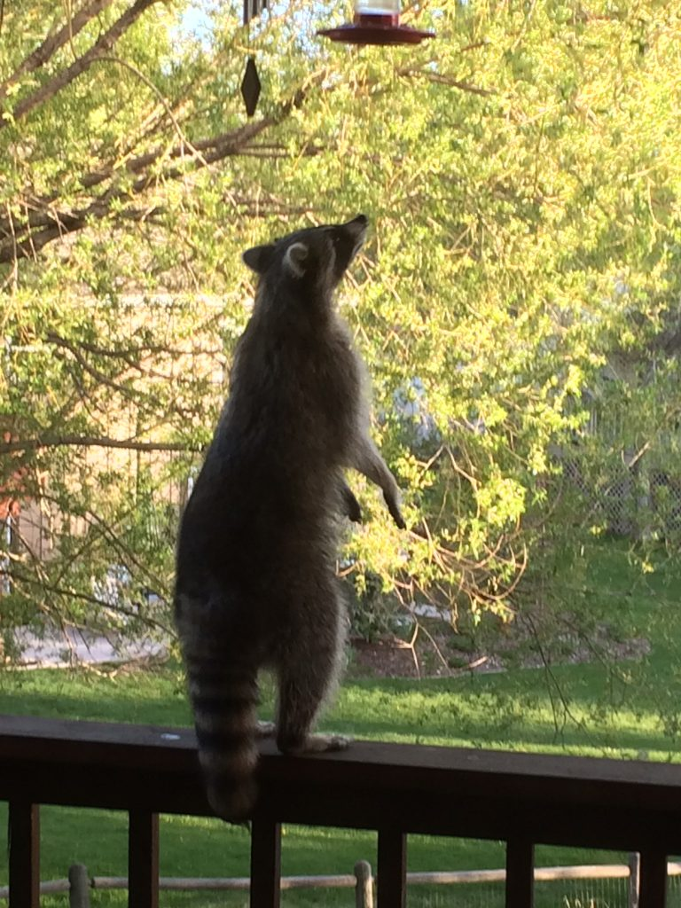A raccoon attempts to grab a snack from a bird feeder.