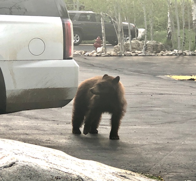 In visiting our favorite mountain town last evening, we witnessed this large Burgess Creek Road bear enter a vehicle left UNLOCKED in a condo parking lot. The bear stood up, pulled down on the door handle and easily entered into the vehicle. The door slammed shut, trapping the bear inside. We notified the vehicle owner, and called 911. The owner came out to the parking lot and remotely opened the trunk, allowing the trapped bear to escape. The bear had already managed to ravage the inside of the vehicle.  The lesson here: Keep your parked vehicle doors locked at all times due to bear activity!