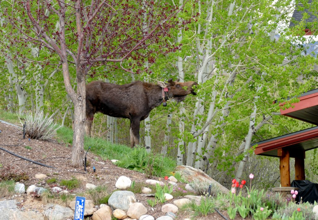 This hungry moose enjoyed the Aspen trees in the Fish Creek Falls Road area. This moose has been tagged and collared.