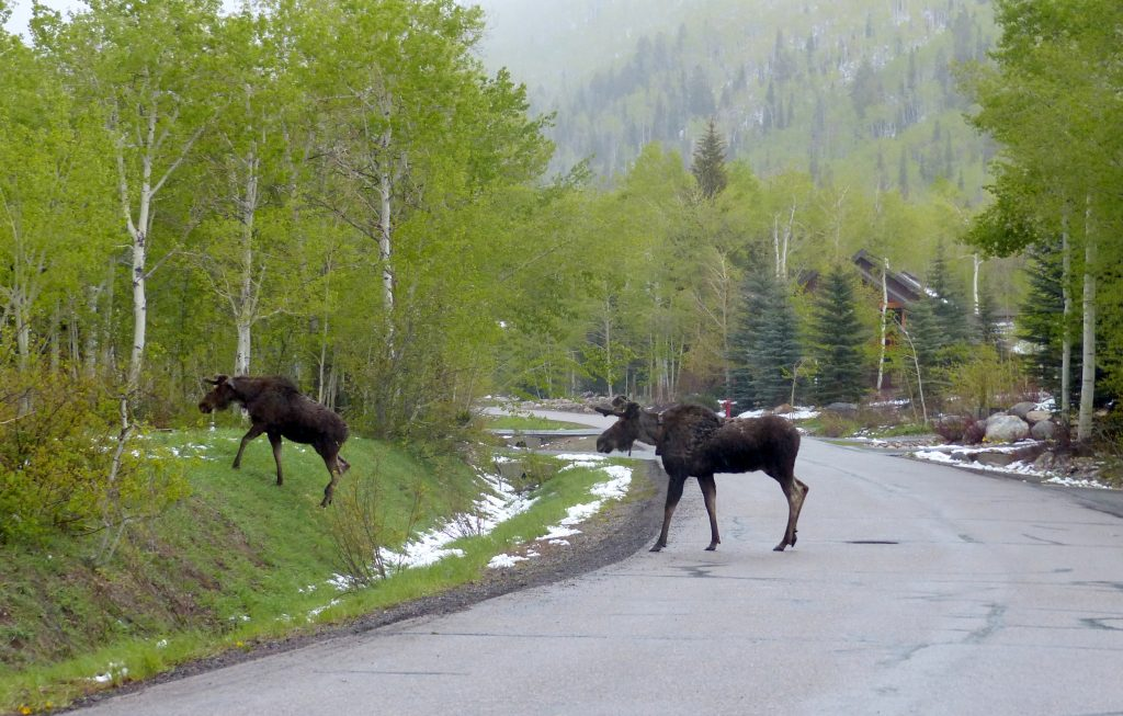 Two moose cross the road in The Sanctuary on Steamboat Boulevard in Steamboat Springs.