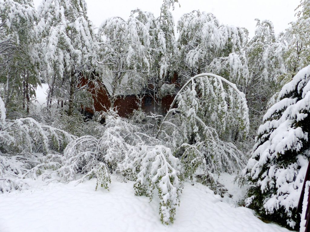 The heavy, wet snow, which arrived in Steamboat Springs on Tuesday, weighs down newly-leafed trees.