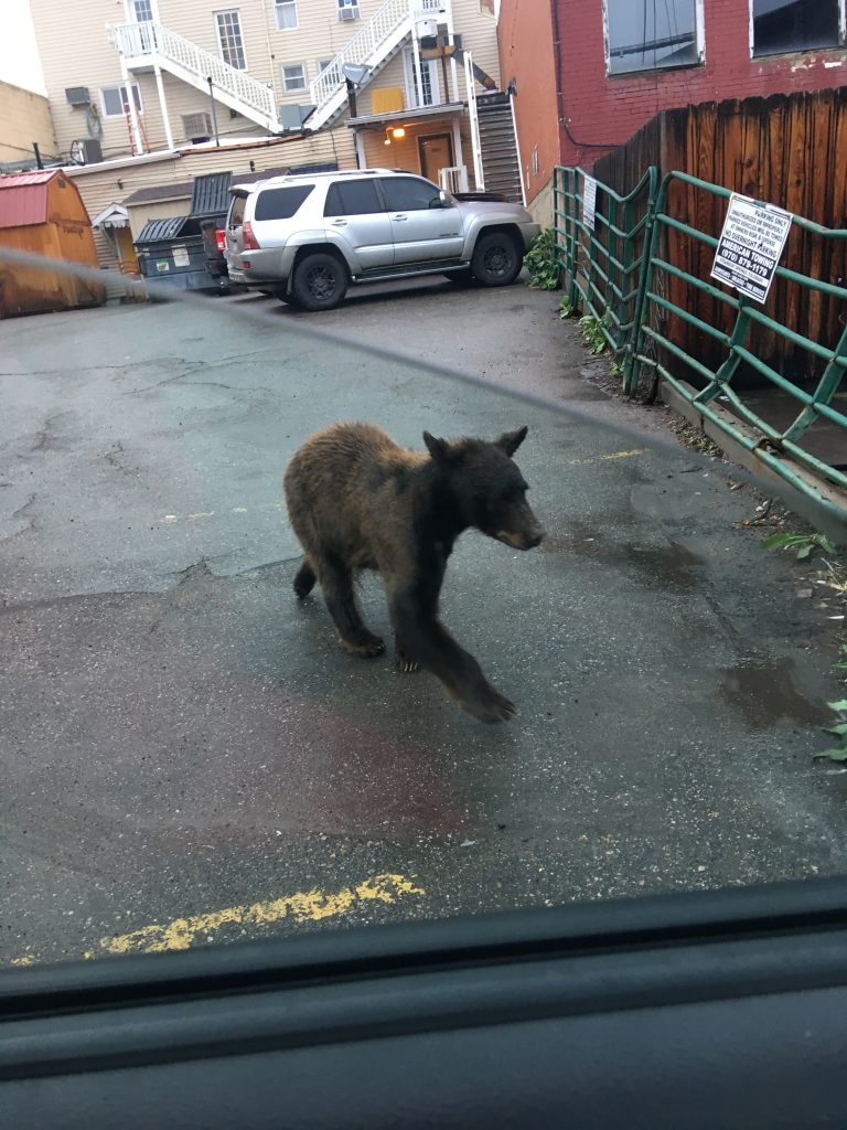 A bear walks through an alley in downtown Steamboat Springs.