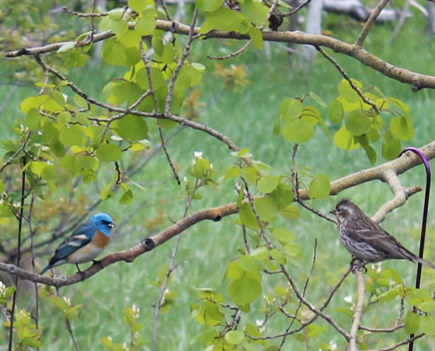 A lazuli bunting and finch visit a tree in Steamboat Springs.