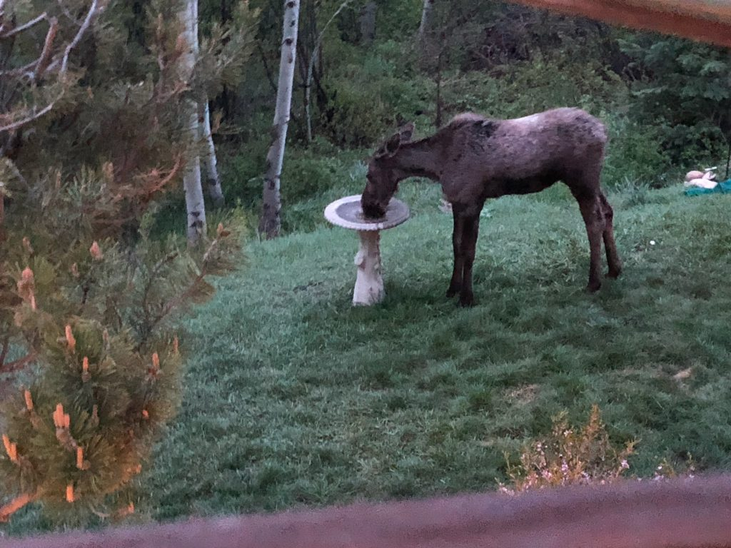 A moose visits a bird bath in Steamboat Springs.