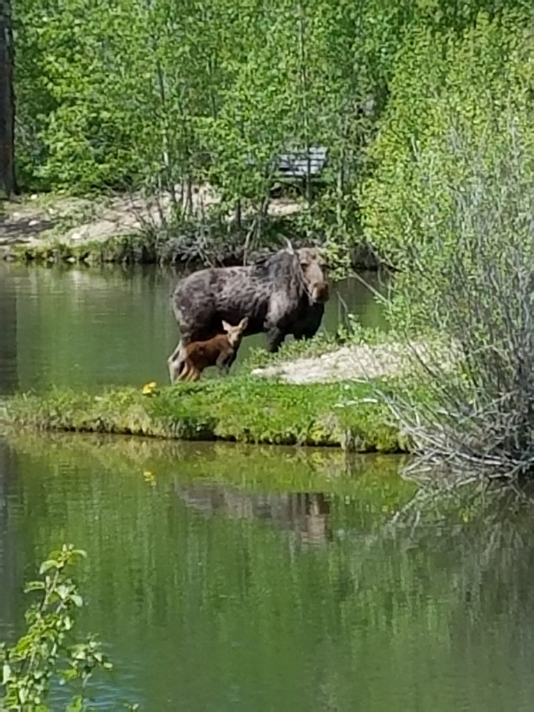 I have visited Steamboat three times and this is my first moose sighting! We don't have these in NC!