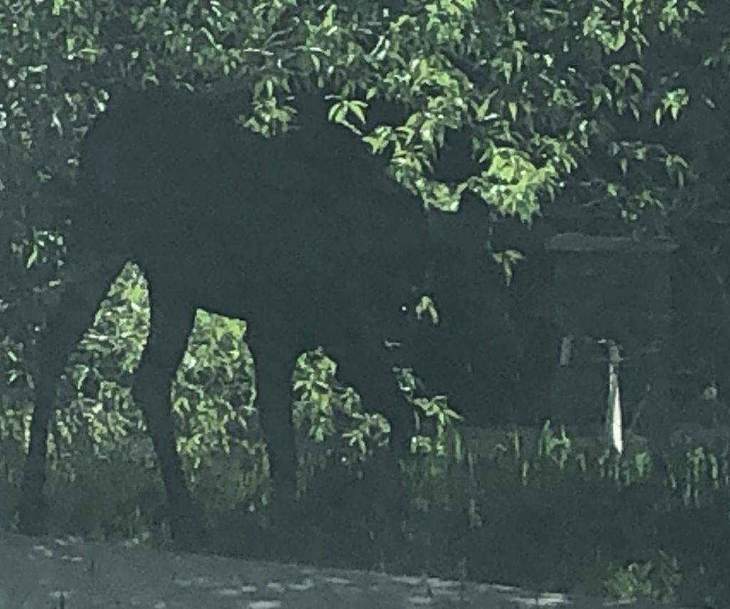 A moose browses the grass selection in front of Sun Ray Meadows.