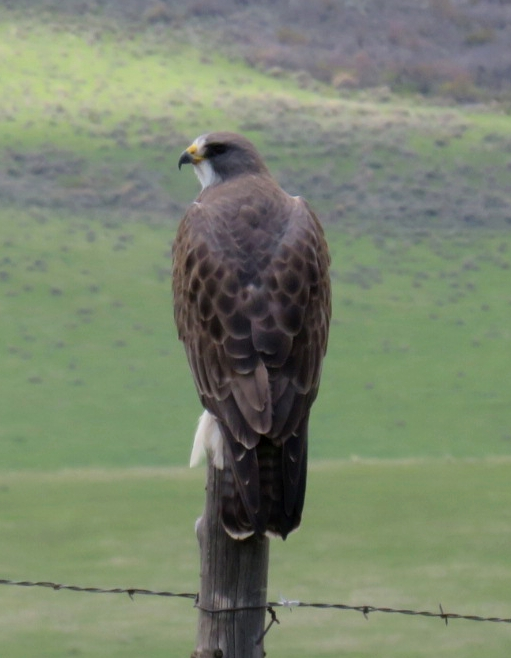 A Swainson's hawk sits on a fence post.