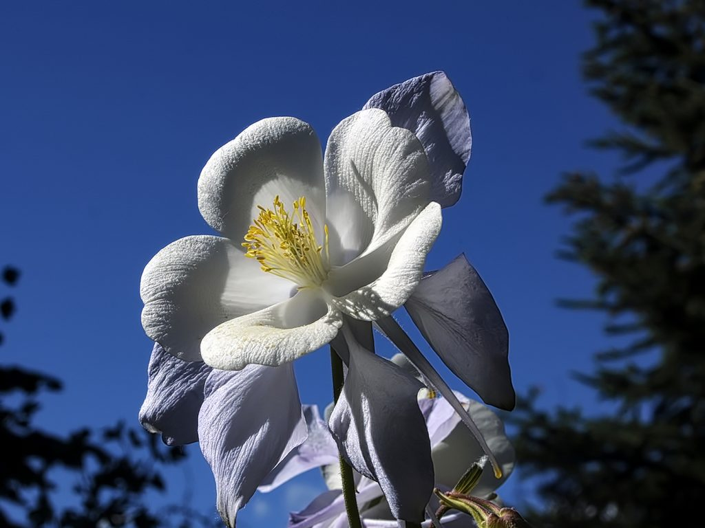A columbine grows in the Yampa River Botanic Park.