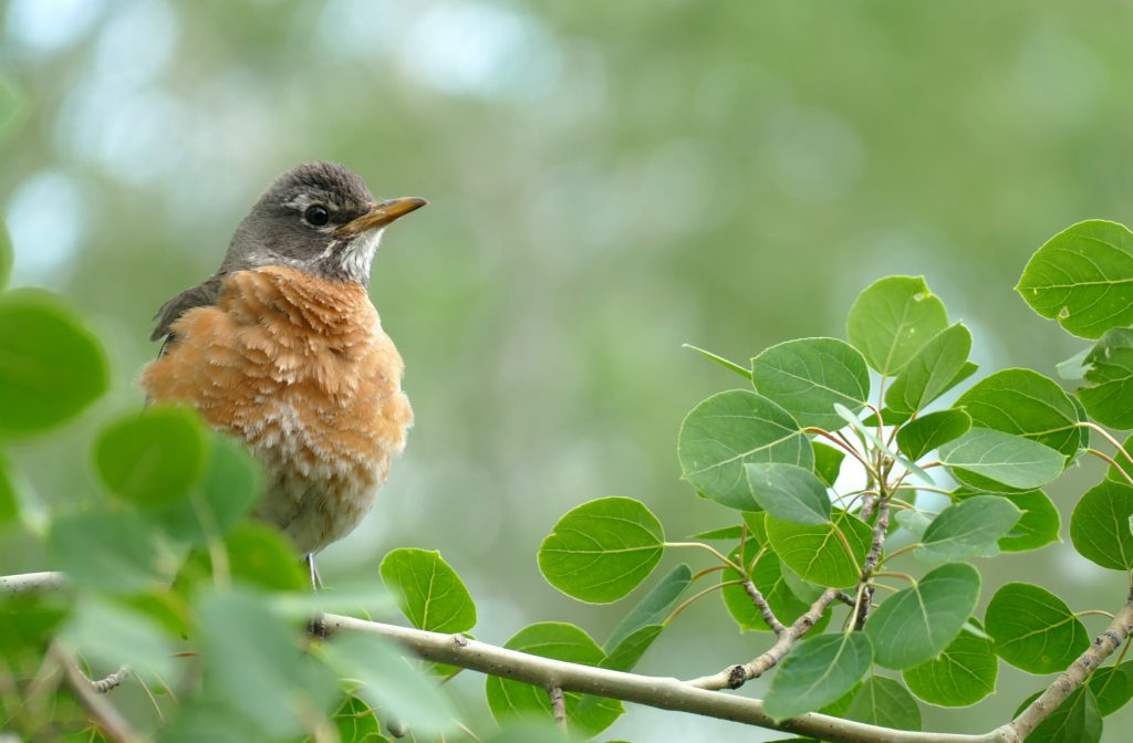 A robin visits a branch in the backyard of a home in Steamboat Springs.