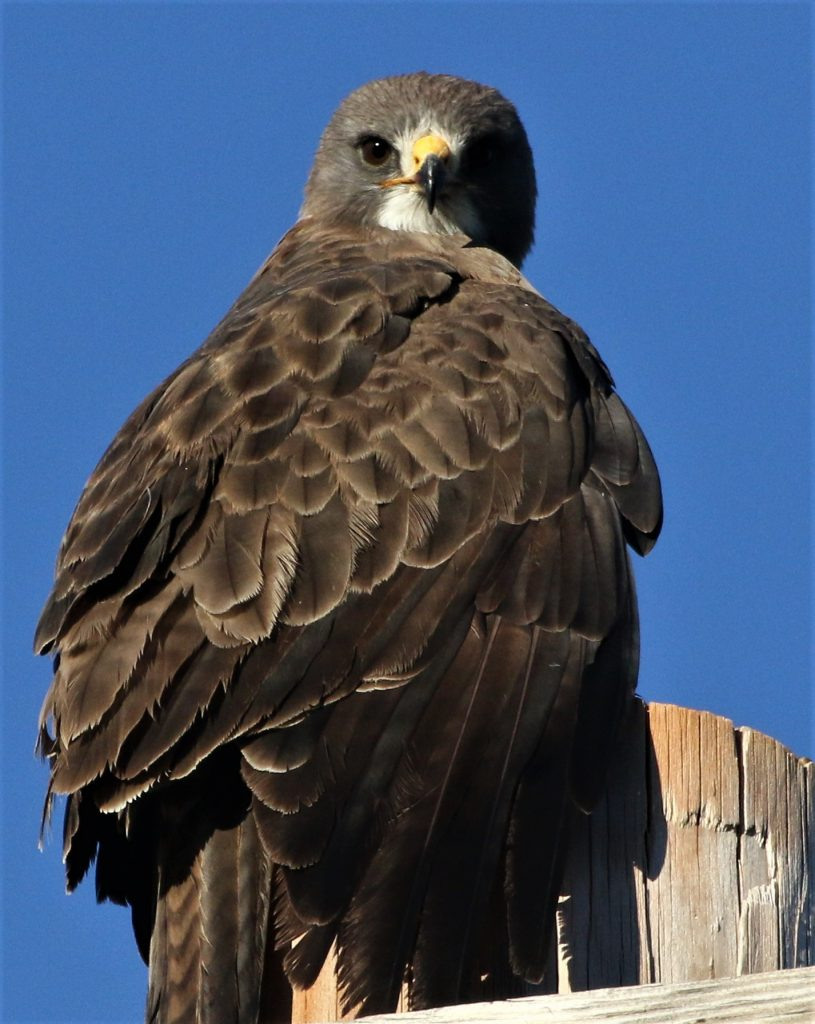 A hawk sits proudly on a fence post.