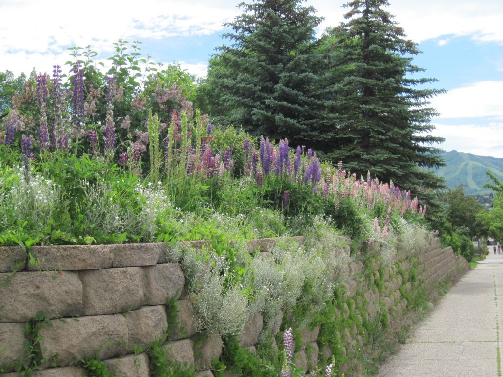 Lupine blooms line a road in Steamboat Springs.