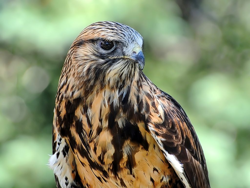 Rough-legged hawk with the Rocky Mountain Raptor Program T Art in the Park in Steamboat Springs.