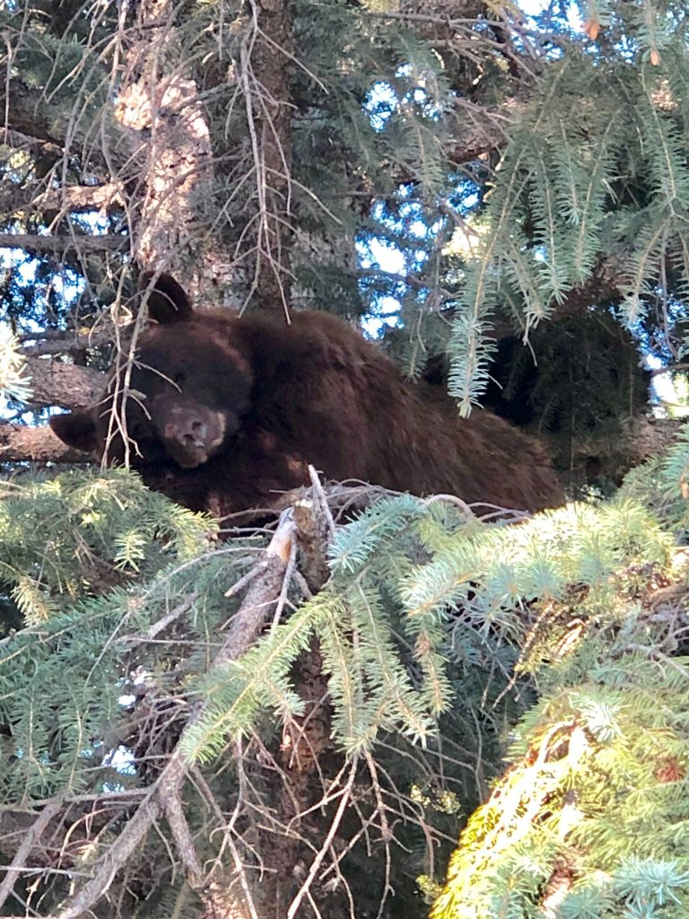 This morning 7/16/19 at 9am at the corner of Walton creek road and Whistler road in front of Shadow Run Condominiums. Mamma bear with 3 cubs further up in tree.