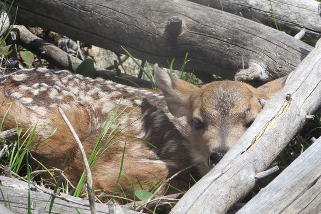 A fawn hunkers down in some fallen logs.
