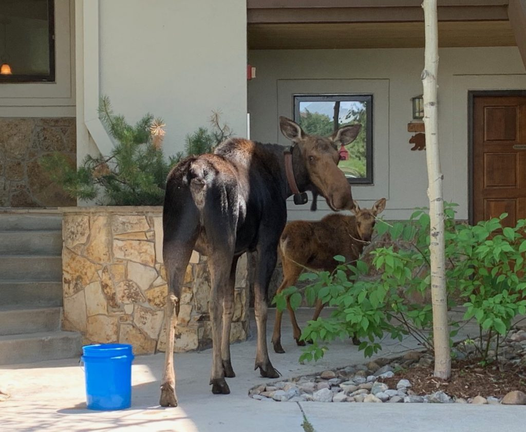 A cow moose and her calf stop by for a visit.