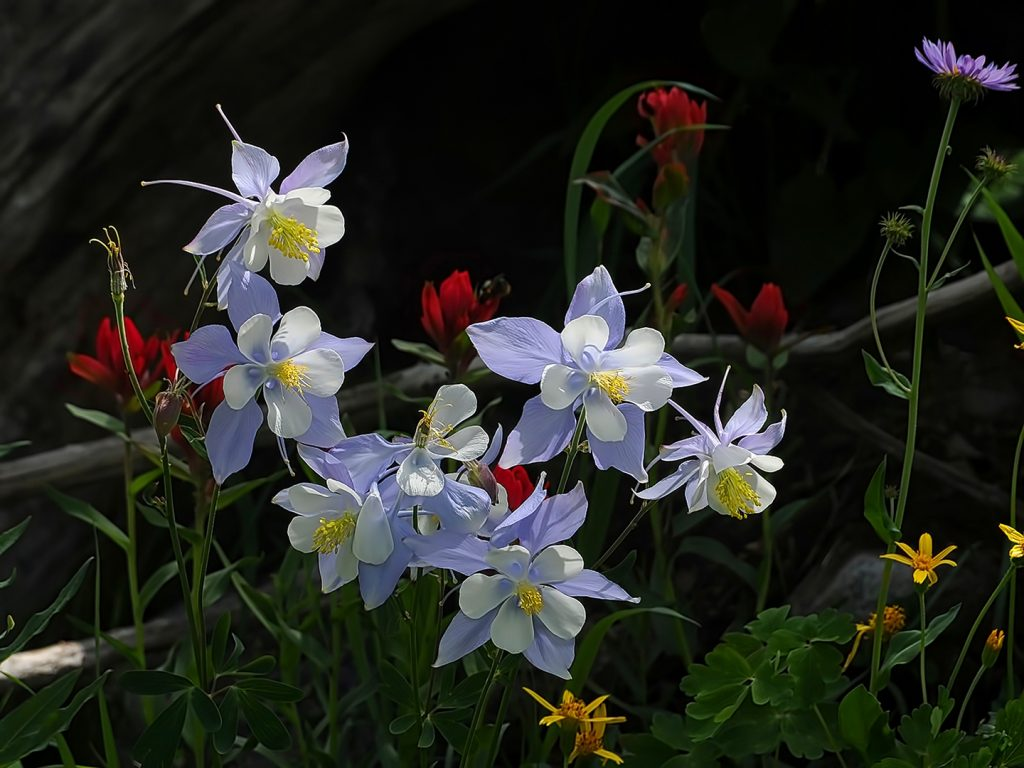 Columbines grow in the Mount Zirkel Wilderness Area.