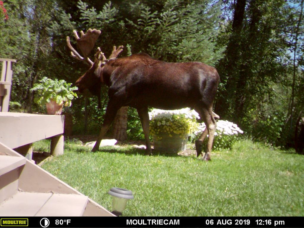 A moose takes a casual stroll across the yard.