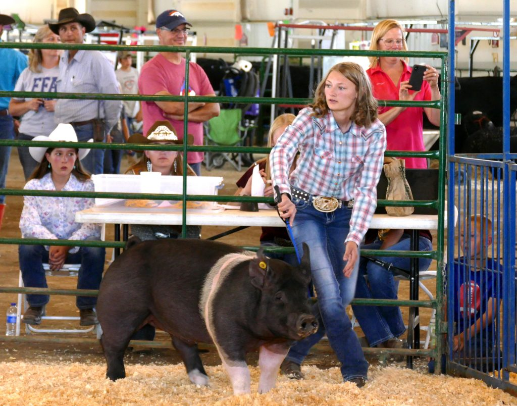 Swine Show at Routt County Fair in Hayden