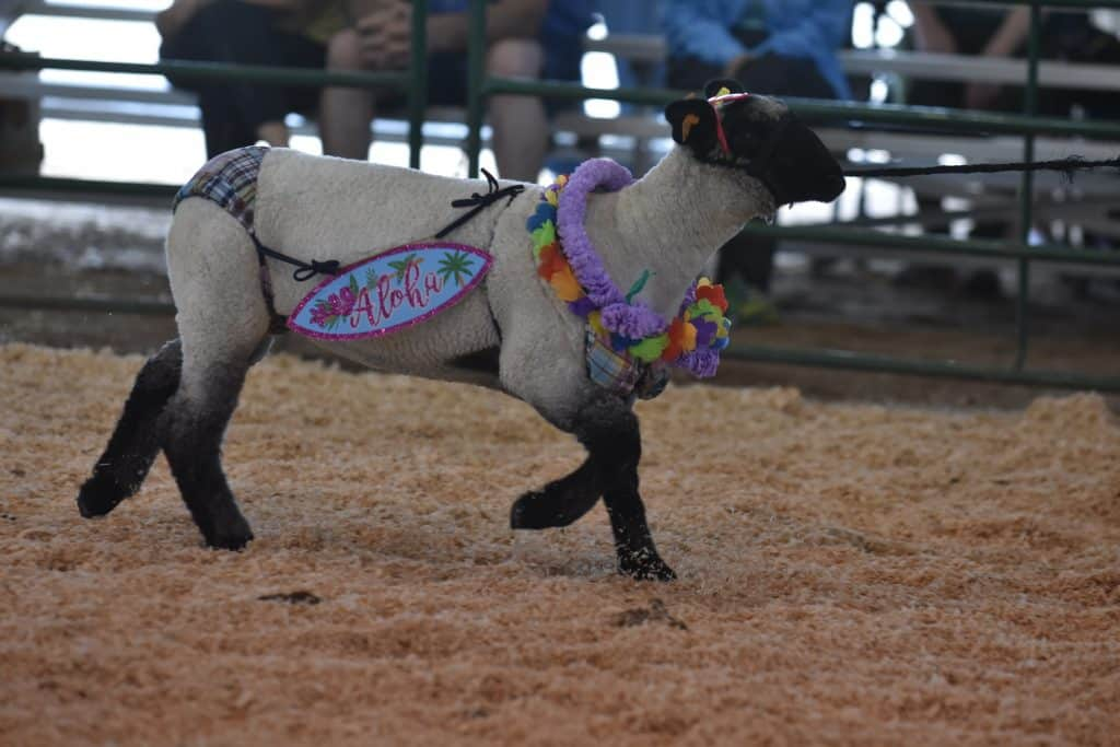 A new groove: Llamas, dressed-up pets delight crowds Friday